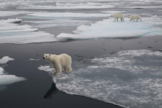 jaynes-gallery-europe-norway-svalbard-curious-polar-bear-cub-looks-at-tourists