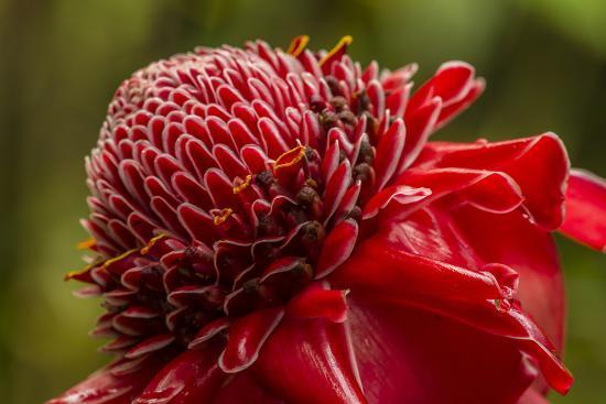 jaynes-gallery-ginger-blossom-hawaii-tropical-botanical-garden-hawaii-usa