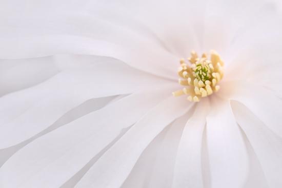 jaynes-gallery-maine-harpswell-light-pink-magnolia-detail