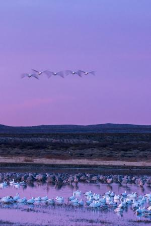 jaynes-gallery-new-mexico-bosque-del-apache-national-wildlife-refuge-snow-geese-and-sandhill-cranes-at-sunrise