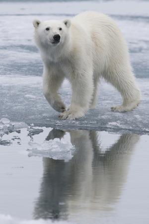 jaynes-gallery-norway-svalbard-polar-bear-walks-over-ice