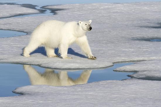 jaynes-gallery-polar-bear-reflected-in-pool-as-it-walks-across-ice-svalbard-norway