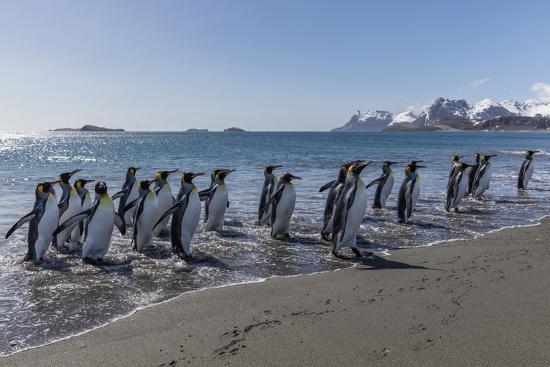 jaynes-gallery-south-georgia-island-salisbury-plains-group-of-king-penguins-on-beach