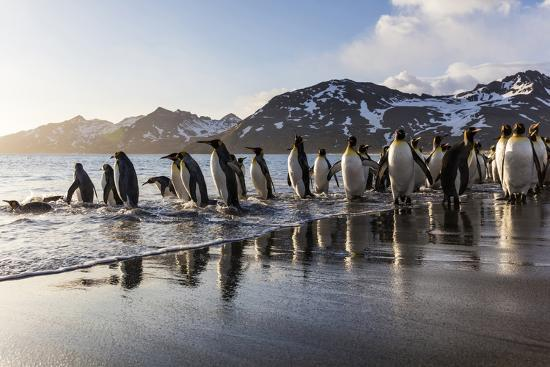 jaynes-gallery-south-georgia-island-st-andrew-s-bay-king-penguins-on-beach-at-sunrise
