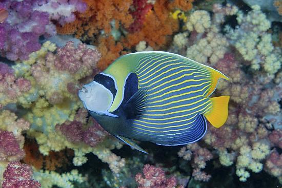 jaynes-gallery-underwater-scenic-of-angelfish-and-coral-raja-ampat-papua-indonesia