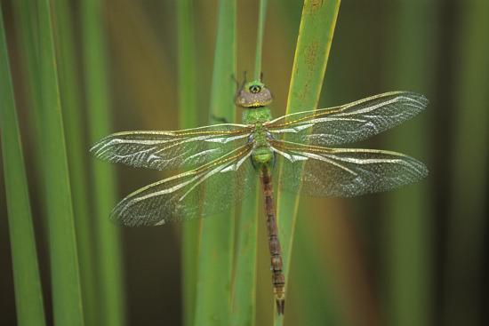 jaynes-gallery-usa-georgia-green-darner-dragonfly-on-reeds