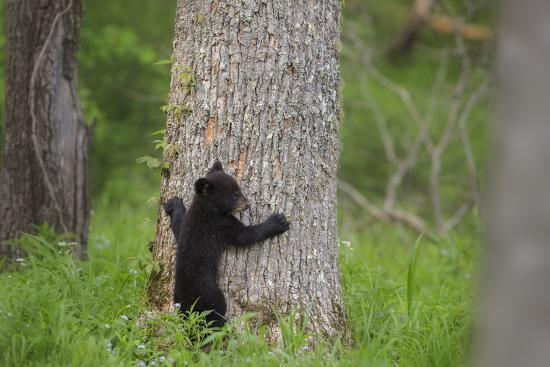 jaynes-gallery-usa-tennessee-great-smoky-mountains-national-park-black-bear-cub-prepares-to-climb-tree