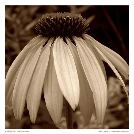 jean-francois-dupuis-sepia-flower