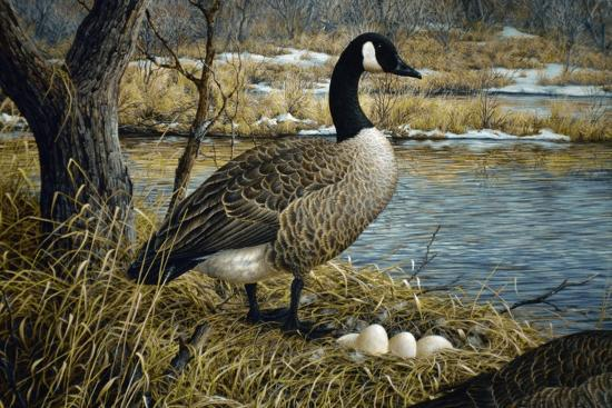 jeff-tift-canadian-goose