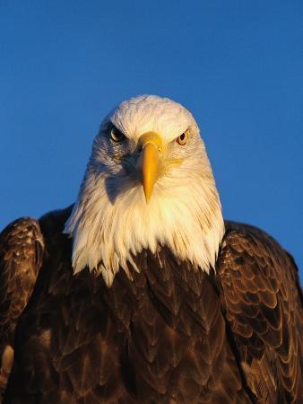jeff-vanuga-bald-eagle