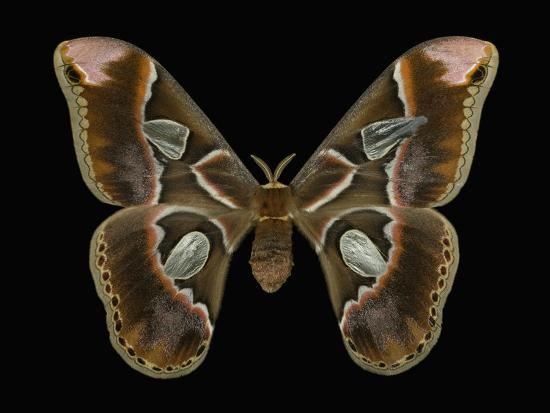 jeffrey-miller-female-adult-stage-of-the-moth-rothschildia-lebeau-this-moth-has-a-wingspan-of-20-23-cm