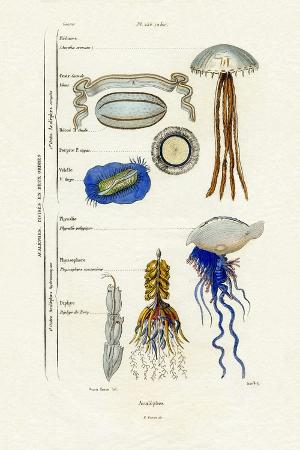 jellyfish-1833-39