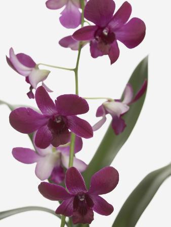 jen-nelson-purple-phalaenopsis-orchids