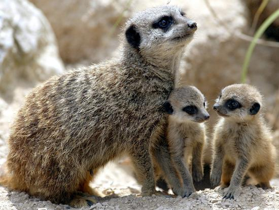 jenny-the-meerkat-with-two-of-her-new-babies-at-london-zoo-june-2005
