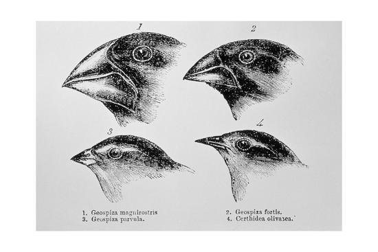 jeremy-burgess-diagram-of-beaks-of-galapagos-finches-by-darwin