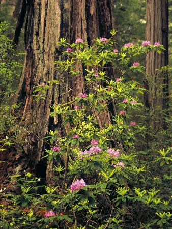 jerry-ginsberg-rhododendrons-blooming-in-groves-redwood-np-california-usa