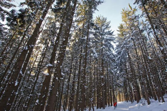 jerry-marcy-monkman-cross-country-skiers-in-a-spruce-forest-windsor-massachusetts