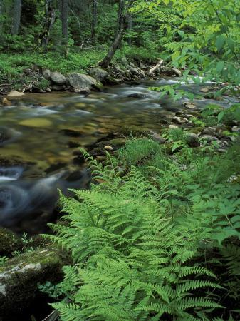 jerry-marcy-monkman-lady-fern-lyman-brook-the-nature-conservancy-s-bunnell-tract-new-hampshire-usa