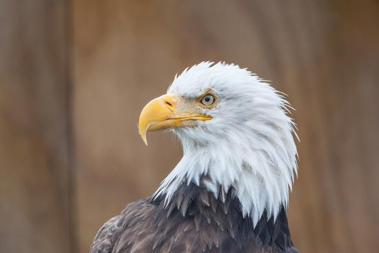 jhvephoto-portrait-of-a-bald-eagle