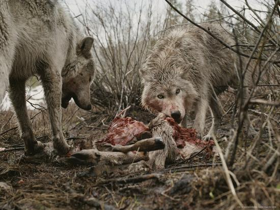jim-and-jamie-dutcher-couple-of-gray-wolves-canis-lupus-feast-on-a-mule-deer-carcass