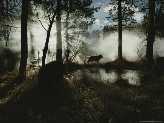 jim-and-jamie-dutcher-gray-wolf-canis-lupus-in-silhouette-passes-by-a-woodland-pond