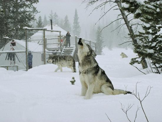 jim-and-jamie-dutcher-gray-wolves-canis-lupus-surround-the-dutchers-snowy-camp