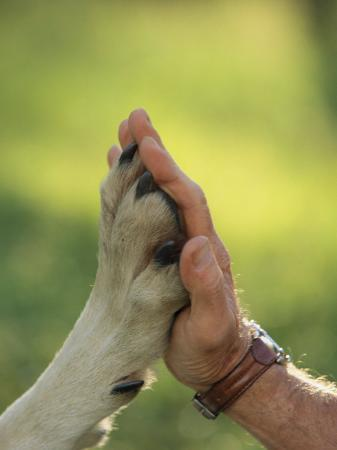 jim-and-jamie-dutcher-jim-dutcher-places-his-hand-to-the-paw-of-a-gray-wolf-canis-lupus