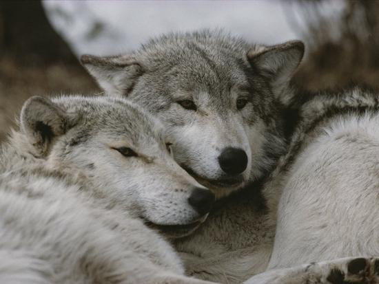 jim-and-jamie-dutcher-napping-gray-wolves