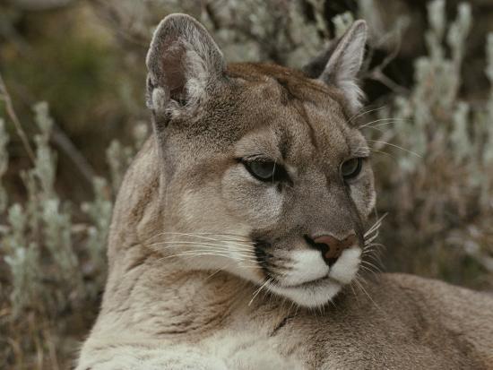 jim-and-jamie-dutcher-portrait-of-a-mountain-lion