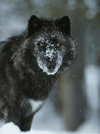 jim-and-jamie-dutcher-snow-flakes-cover-the-face-of-a-black-colored-gray-wolf-canis-lupus