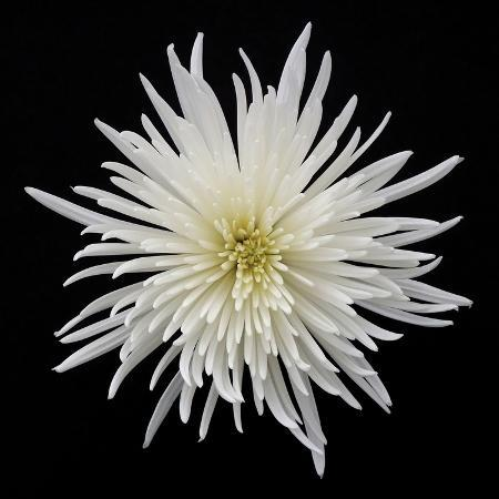 jim-christensen-chrysanthemum-i