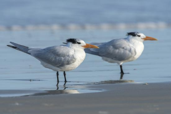 jim-engelbrecht-usa-florida-new-smyrna-beach-royal-tern