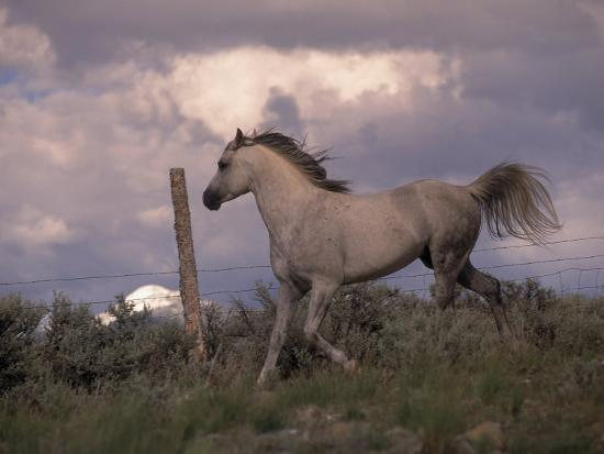 jim-oltersdorf-white-horse-trotting-along-barbed-wire-fence