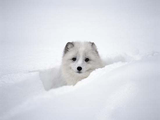 jim-zuckerman-arctic-fox-peeking-out-of-snow