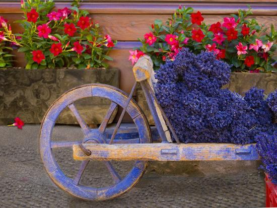 jim-zuckerman-old-wooden-cart-with-fresh-cut-lavender-sault-provence-france