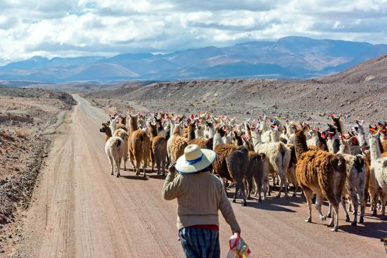 jkraft5-llama-herd-on-road