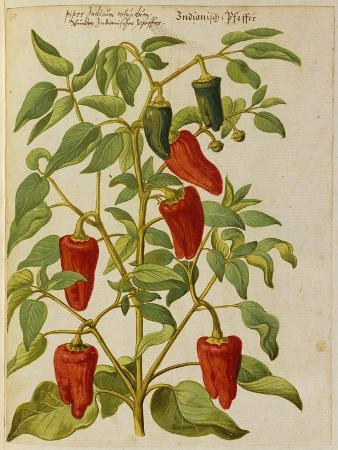 joachim-camerarius-indian-pepper-from-camerarius-florilegium
