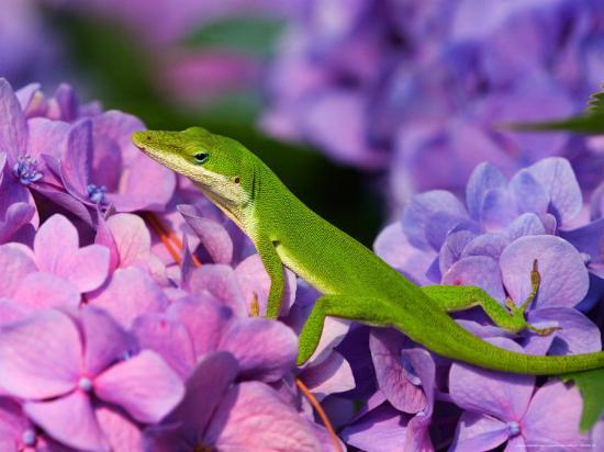 joanne-wells-lizard-on-hydrangea-savannah-georgia-usa
