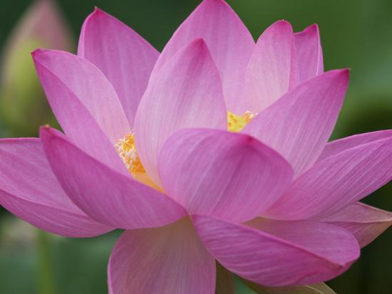 joanne-wells-perry-s-water-garden-lotus-blossom-franklin-north-carolina-usa