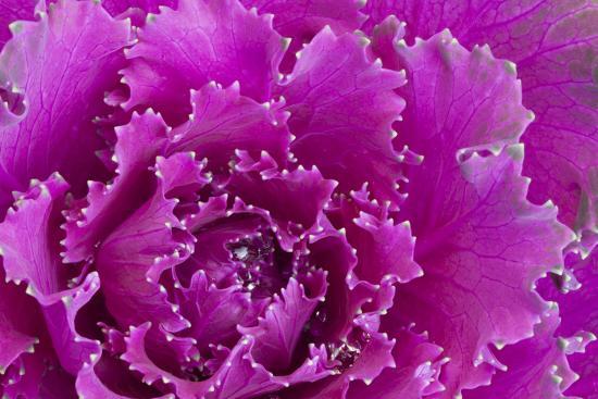 joanne-wells-usa-georgia-savannah-fancy-leaf-cabbage
