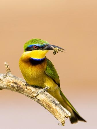 joanne-williams-little-bee-eater-bird-on-limb-with-bee-in-beak-kenya