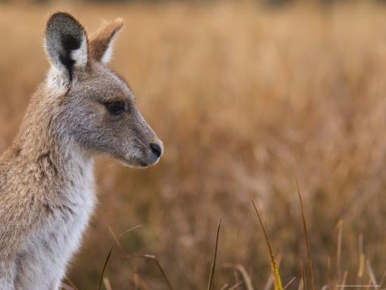 jochen-schlenker-eastern-grey-kangaroo-kosciuszko-national-park-new-south-wales-australia