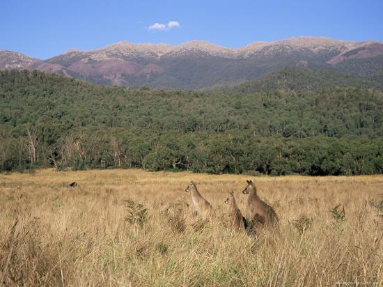 jochen-schlenker-eastern-grey-kangaroos-new-south-wales-australia-pacific