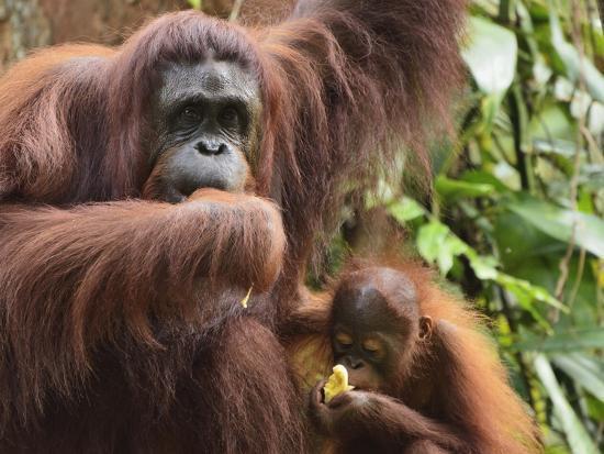 jochen-schlenker-orangutan-pongo-borneo-semenggoh-wildlife-reserve-sarawak-borneo-malaysia