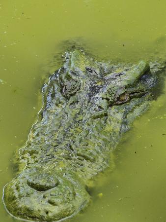 jochen-schlenker-saltwater-or-estuarine-crocodile-crocodylus-porosus-sarawak-borneo-malaysia