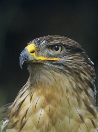 joe-mary-ann-mcdonald-ferruginous-hawk-head-buteo-regalis-southwestern-usa