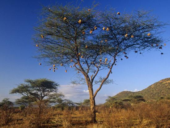 joe-mary-ann-mcdonald-numerous-weaver-nests-in-an-acacia-tree-in-the-savanna-of-samburu-game-reserve-kenya-africa