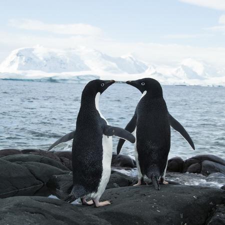 joe-mcdonald-adelie-penguin