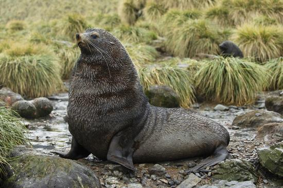 joe-mcdonald-antarctic-fur-seal-at-haul-out
