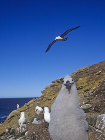 joe-mcdonald-black-browed-albatross-chick-diomedea-melanophris-falkland-islands
